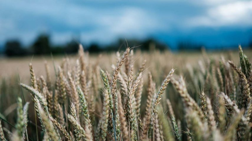2019 plant based news - Field of Wheat